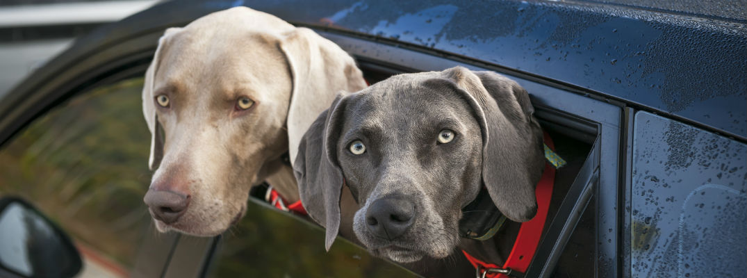 Two dogs sticking their heads out of a car window