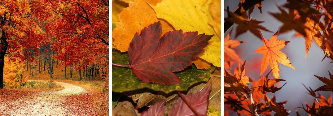 Pictures of a Forest Trail with Fall Foliage, a Red Maple Leaf in Fall and Orange Fall Leaves in a Tree