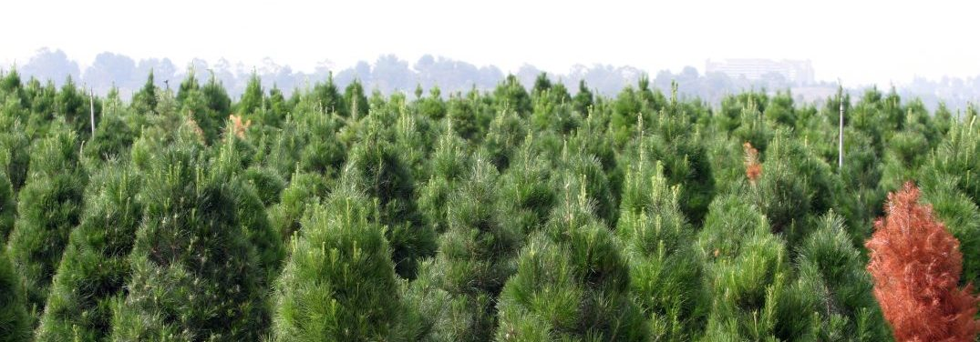 view overlooking a christmas tree farm during the daytime
