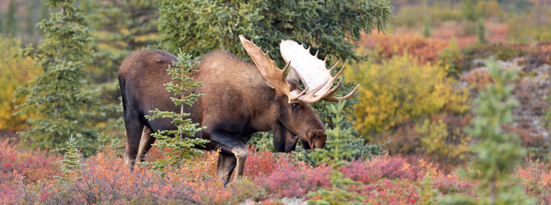 Moose grazing during the fall season