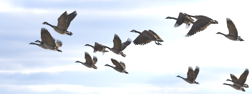 Gaggle of Canadian geese flying