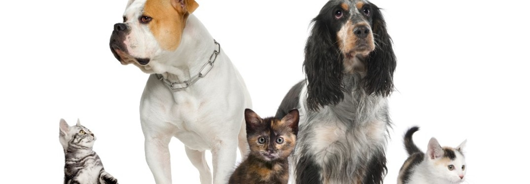 cats and dogs on a white background
