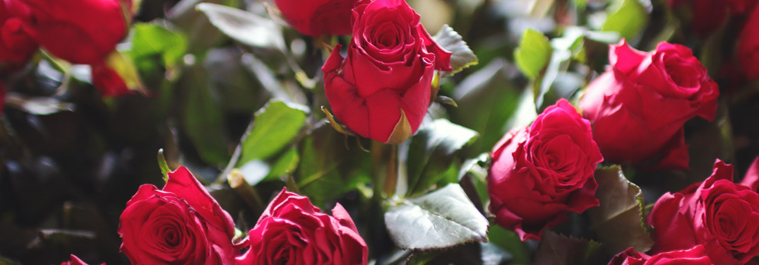 red roses with green stems