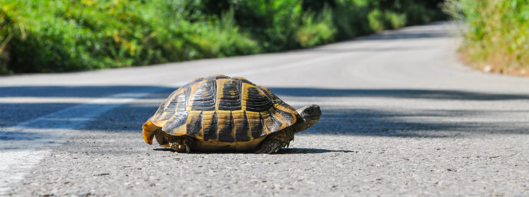 A turtle/tortoise crossing a road