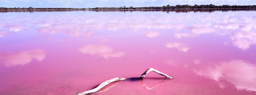 Pink lake caused by algae and saline in western Australia