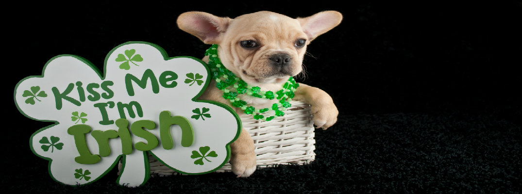 St Paddy's day pup