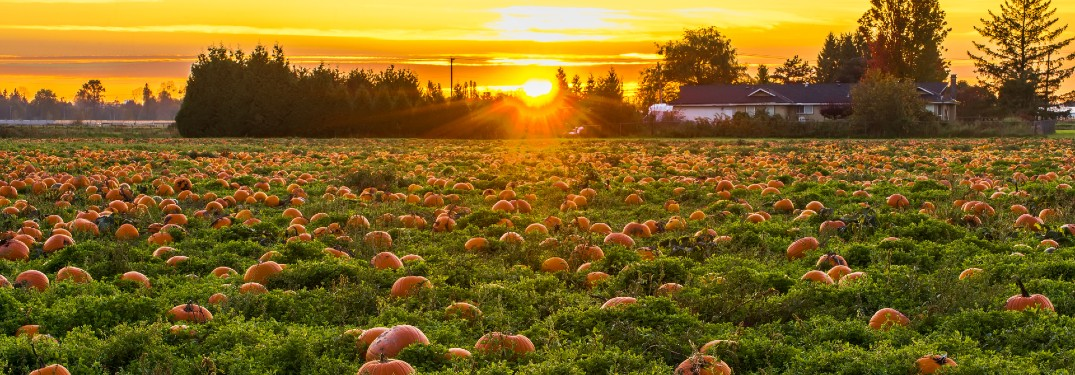 large field full of pumpkins sun setting in background