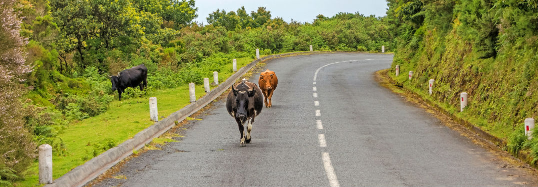 Group of cows walking down an empty country road