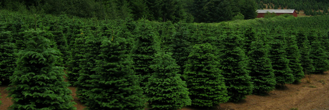 ... Local Christmas Tree Farms Enfield CT 2014 - Local Christmas Tree Farms Enfield CT 2014