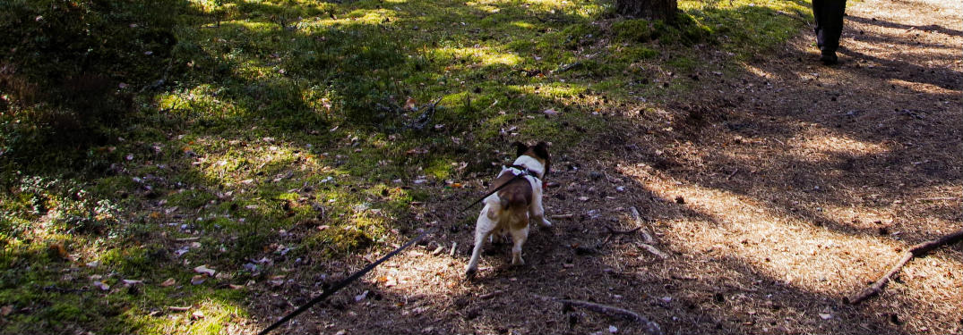 A dog on a leash walking on a path in the woods