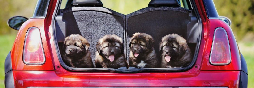 puppies in the back of a car