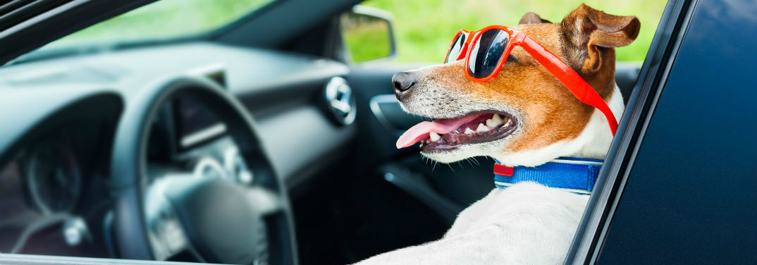 dog wearing sunglasses and sitting in the driver seat of a car