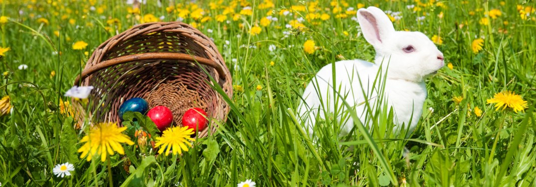 White rabbit in field next to basket of Easter eggs