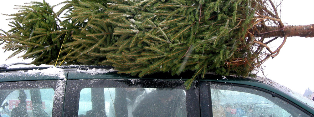 christmas tree strapped to the hood of suv