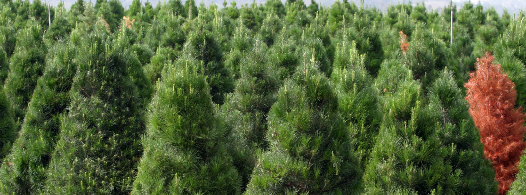 Field of Christmas Trees on a Farm