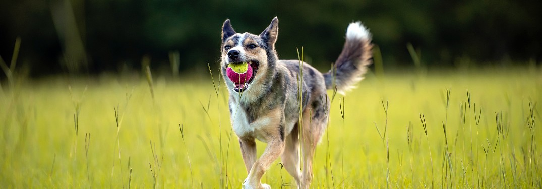 Herding dog with ball in mouth in field