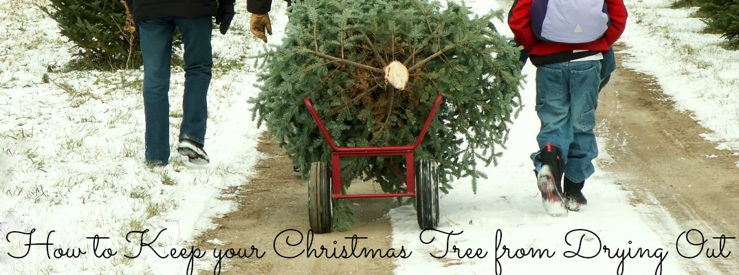harbin automotive official blog home local news and events how to keep your christmas tree from drying out - How To Keep Christmas Tree From Drying Out