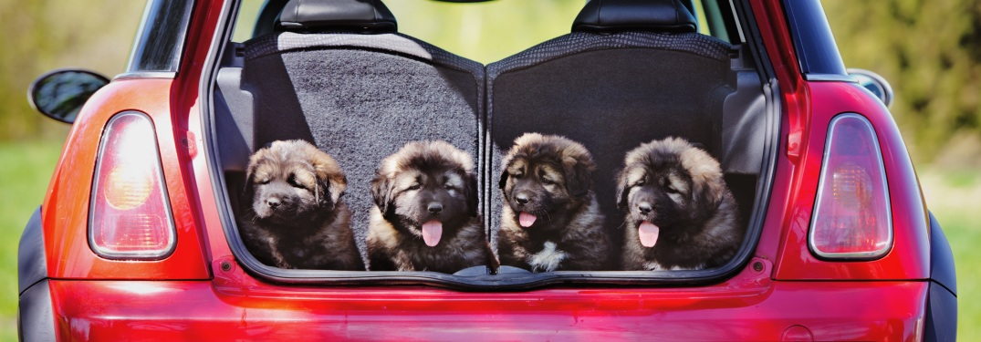 Four puppies in the back of a car