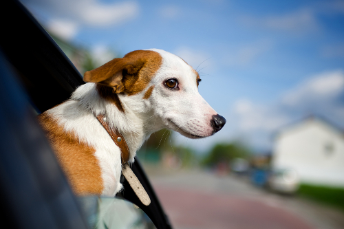 Dog with its head out car window