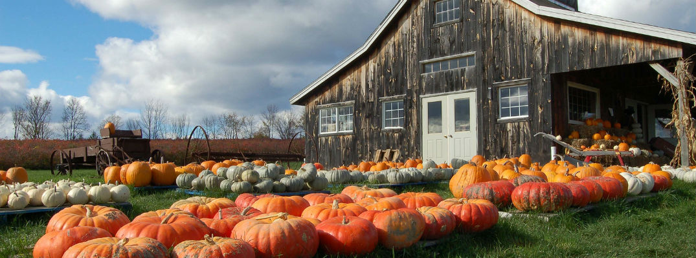 Field of pumpkins in front of barn