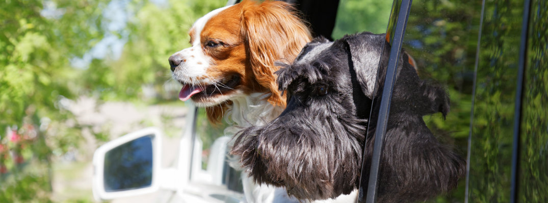 Two dogs sticking their head out a car's window