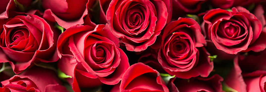 A close-up on a group of red roses