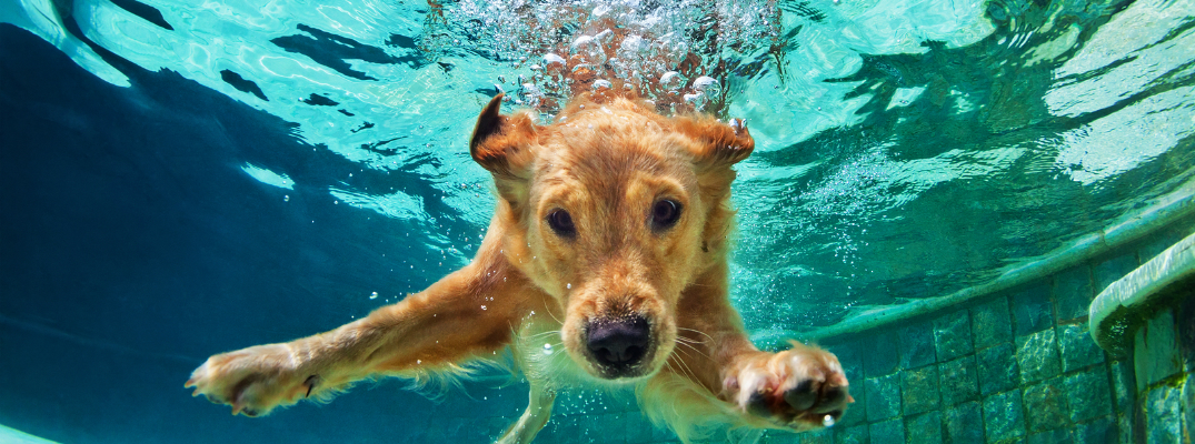 Golden Retriever Puppy Swimming in a Pool
