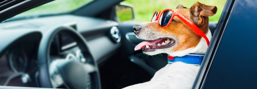 Small brown and white dog sitting in driver seat of a car while wearing red sunglasses