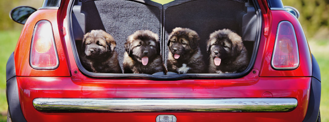 A stock photos of puppies in the back of a vehicle.