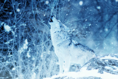 wolf howling in winter as it snows