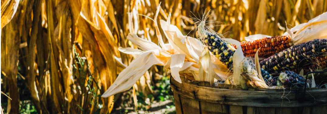 Multi-colored corn in a basket sitting in a cornfield