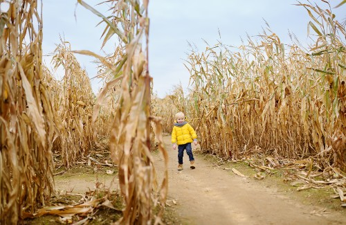 young child in yellow coat walking in corn maze