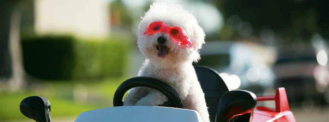 happy and fluffy white dog with goggles in a plastic car pretending to drive