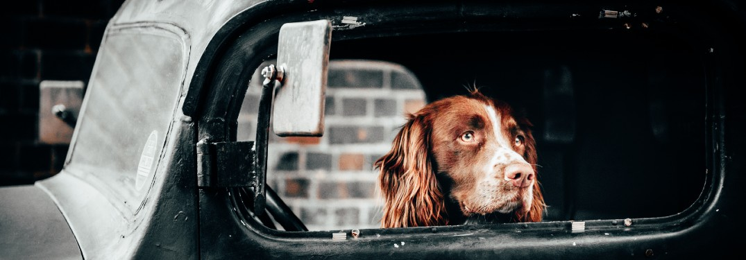 dog inside vehicle with head poking out of window