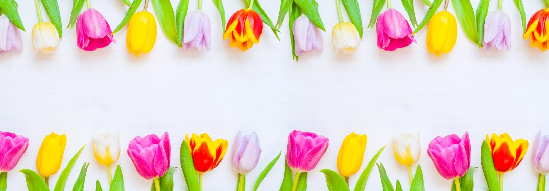 pink and yellow tulips laying down on top and bottom of screen