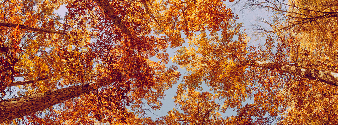 View of colorful fall trees from the ground