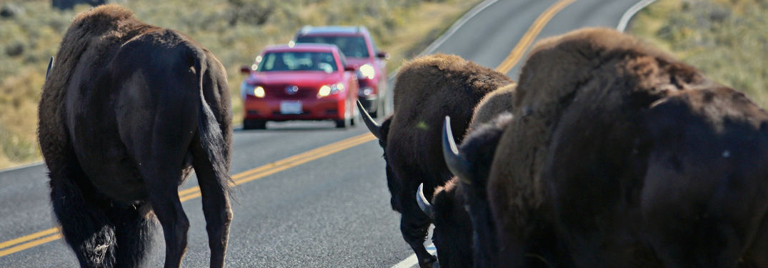 Yellowstone bison cross road ahead of cars