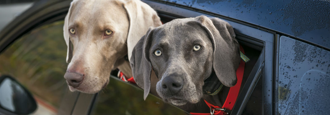 Ford and Cute Dogs on Instagram with image of two Weimaraner dogs with their heads out of a car window