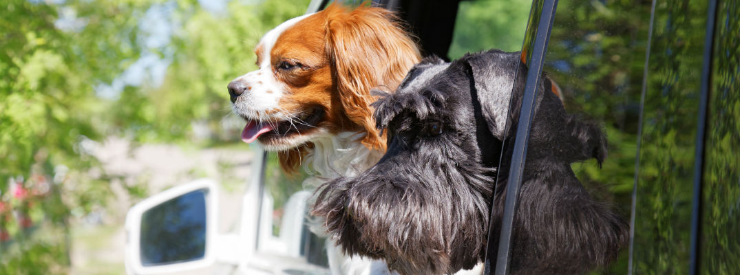 A stock image of two dogs looking out the back of a car window.