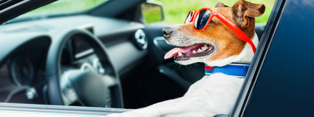 A stock photo of a dog sitting behind the wheel of a car.
