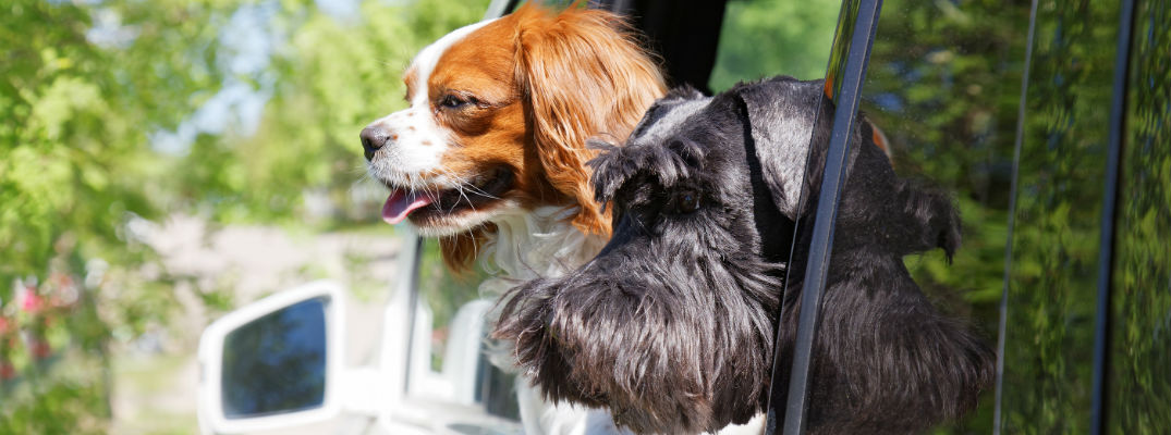 A stock photo of dogs in the backseat of an SUV.