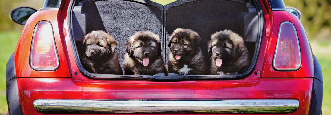 four puppies in back of red car