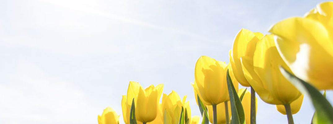 Diagonal view of yellow tulips and sunshine - May 2017 Events and Festivals in El Paso TX