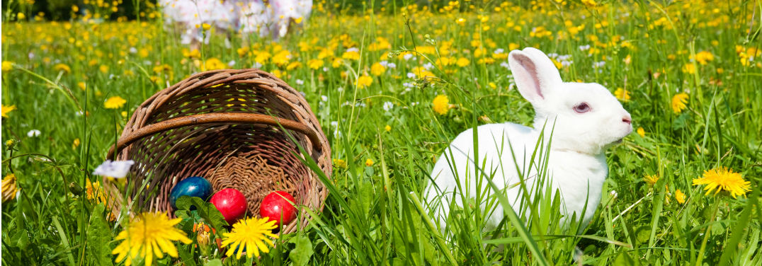 White Easter Bunny with a purple eye sits in profile alongside an overturned Easter basket in a field of dandelions.