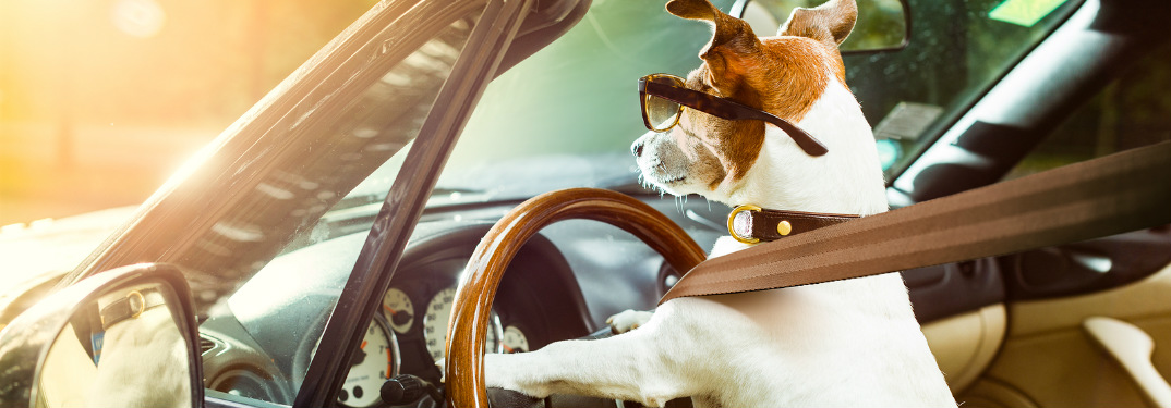 Dog driving a vehicle is prominently wearing a seatbelt.