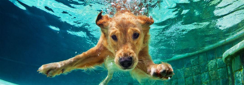 Golden Retriever swimming underwater towards camera