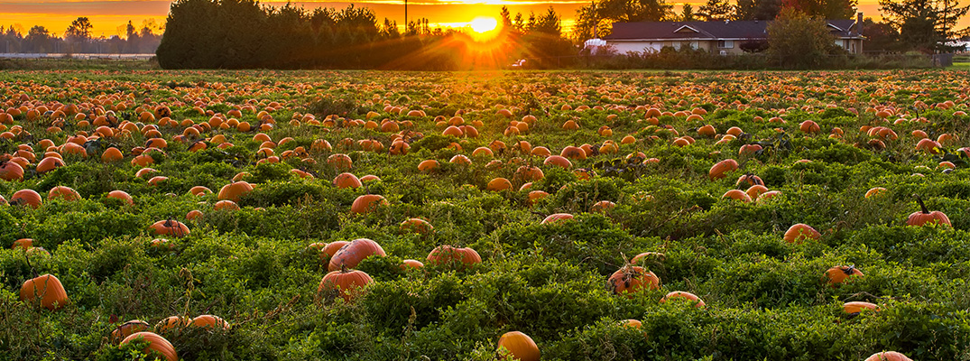 pumpkin patch under a sunset