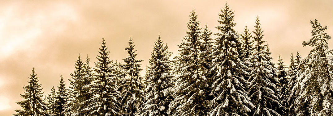 tops of evergreens in the snow on a cloudy day