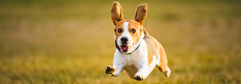 Beagle dog running across a field