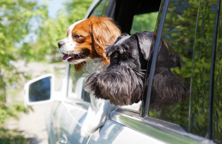 two dogs looking out the window of a car